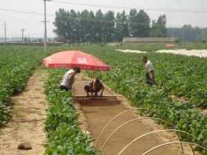 Here's a great example of a field where the organic broccoli is carefully planted by hand.