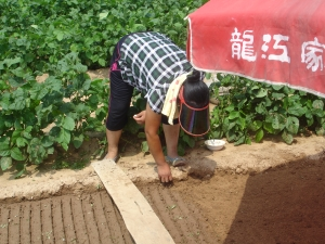Planting broccoli.