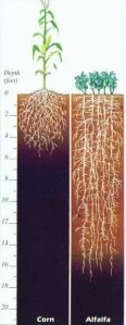 alfalfa root depth